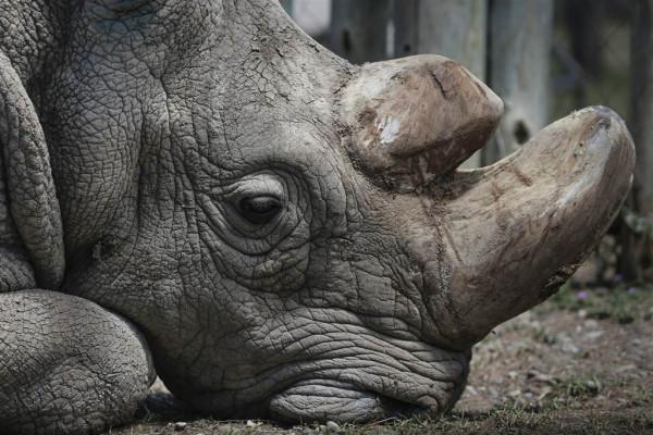 White Rhino Sudan