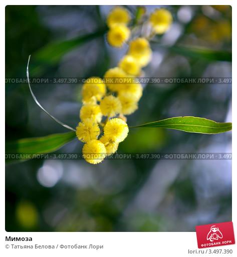 mimoza-0003497390-preview