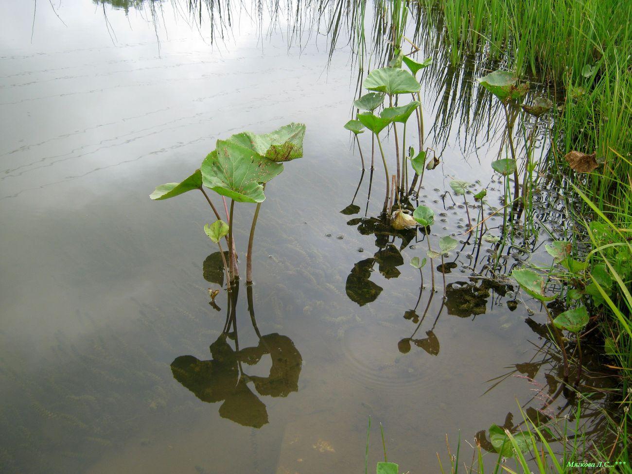 00 река черемша листья _4654.jpg