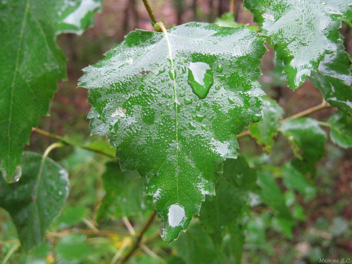 мокрый лист.jpg