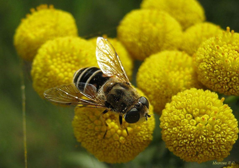 пчела надпись.jpg