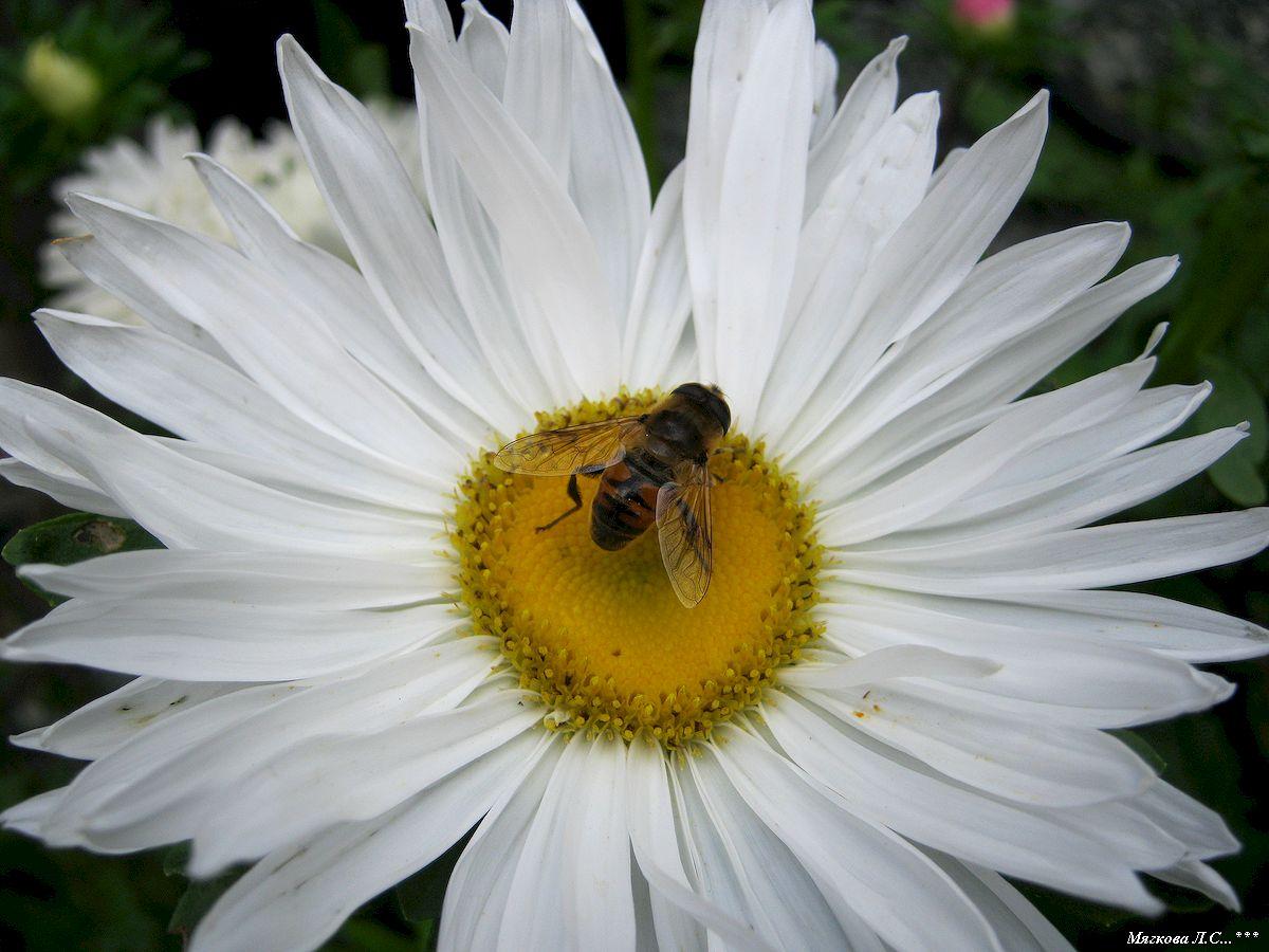 Пчела на ромашке н.jpg