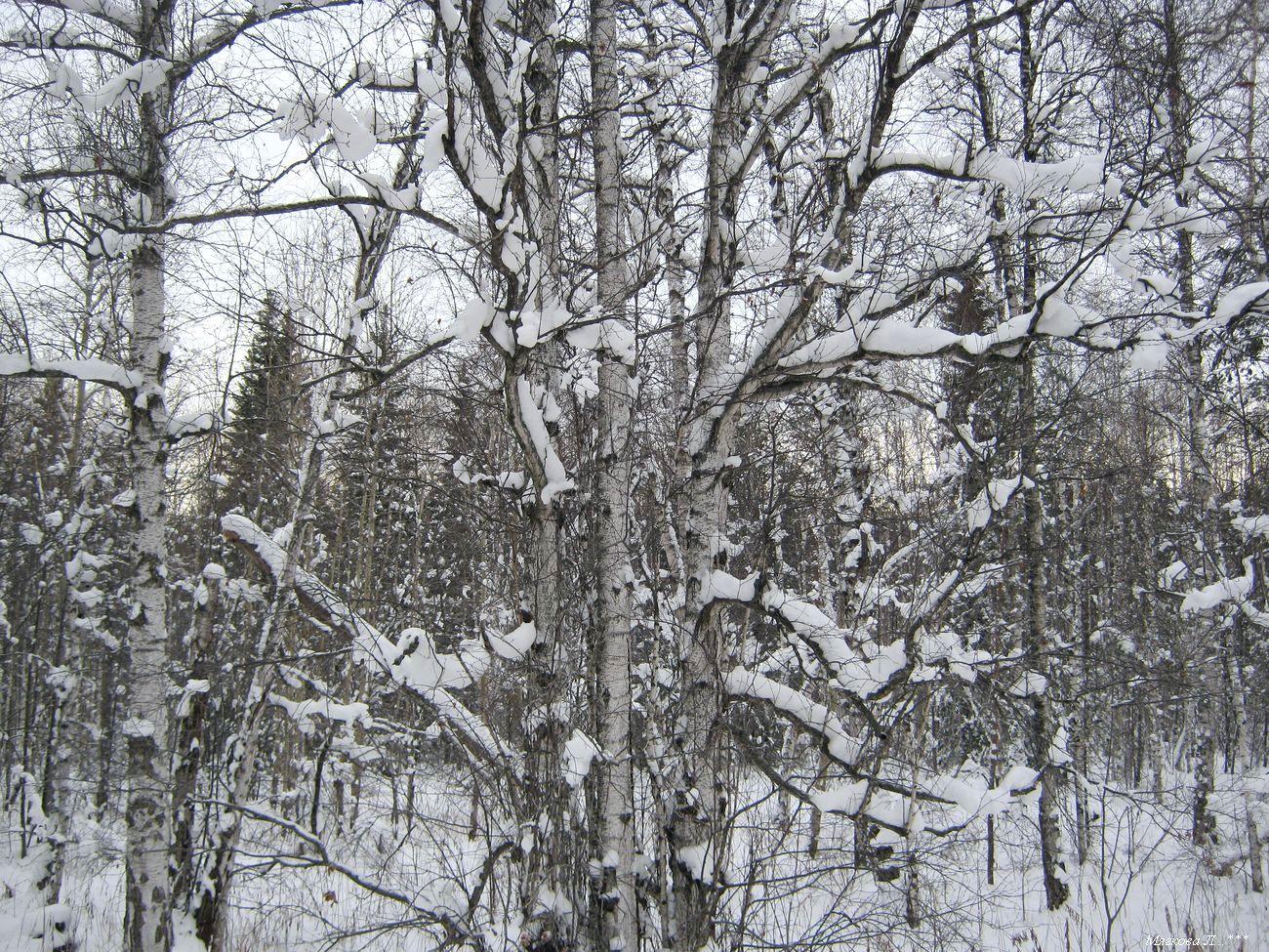 00 берёза снег _8469.jpg
