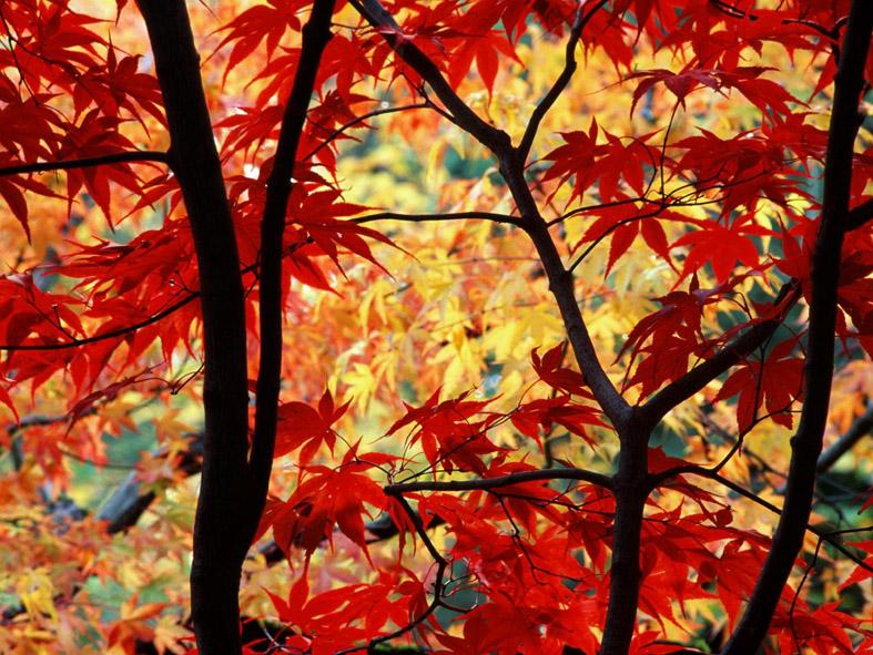 Алые листья