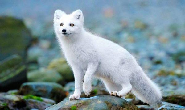 Арктические волки и лисы