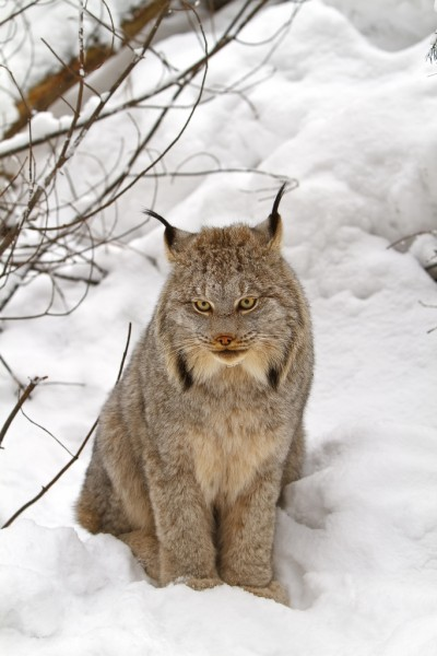 cats-Canada_lynx_by_Michael_Zahra