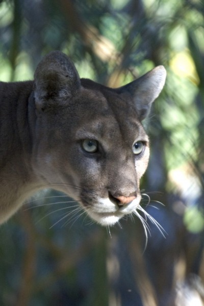 cats-Everglades_Florida_Panther