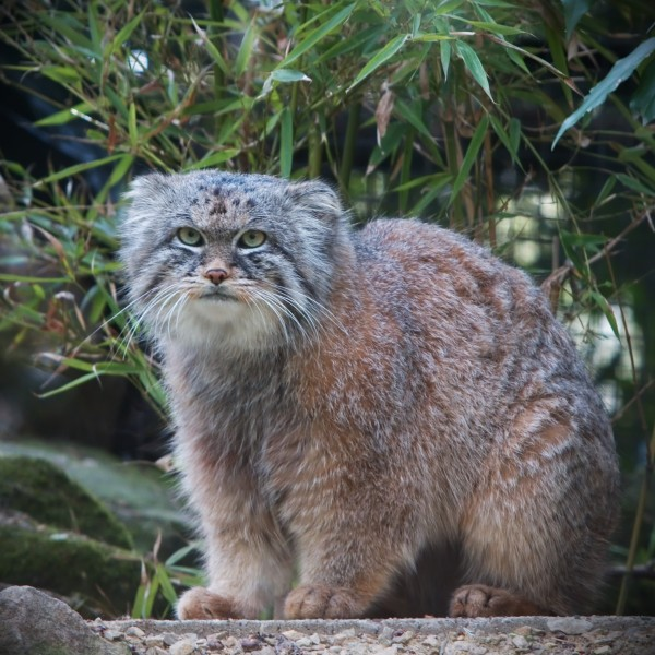 cats-Manoel - Pallas' Cat