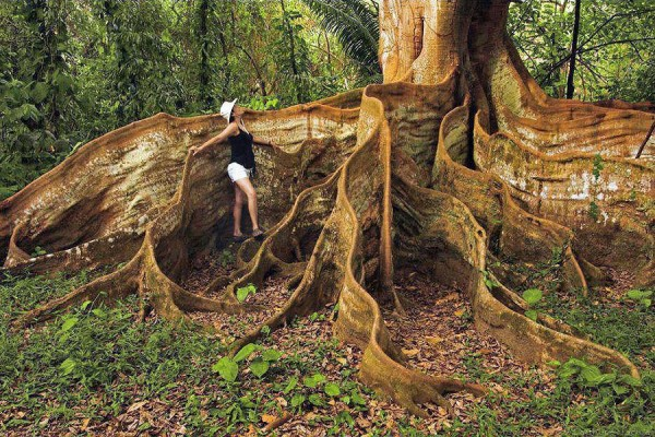 ribbon rooted tree in Costa Rica