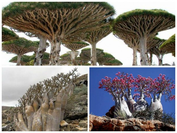 island of Socotra is one of the most isolated non-volcanic landforms in the world. Sitting 240 km east of the Horn of Africa
