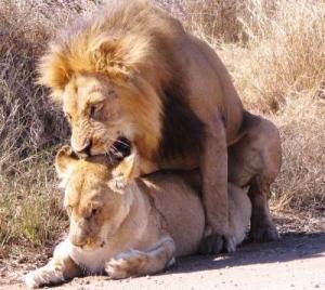 лев покрывает львицу