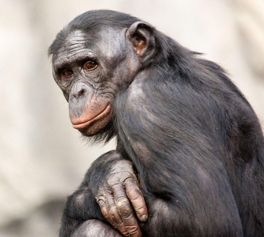 бонобо 2