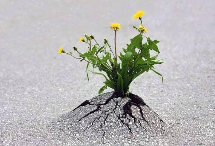 цветок под асфальтом
