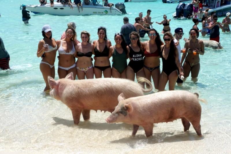 священные свиньи