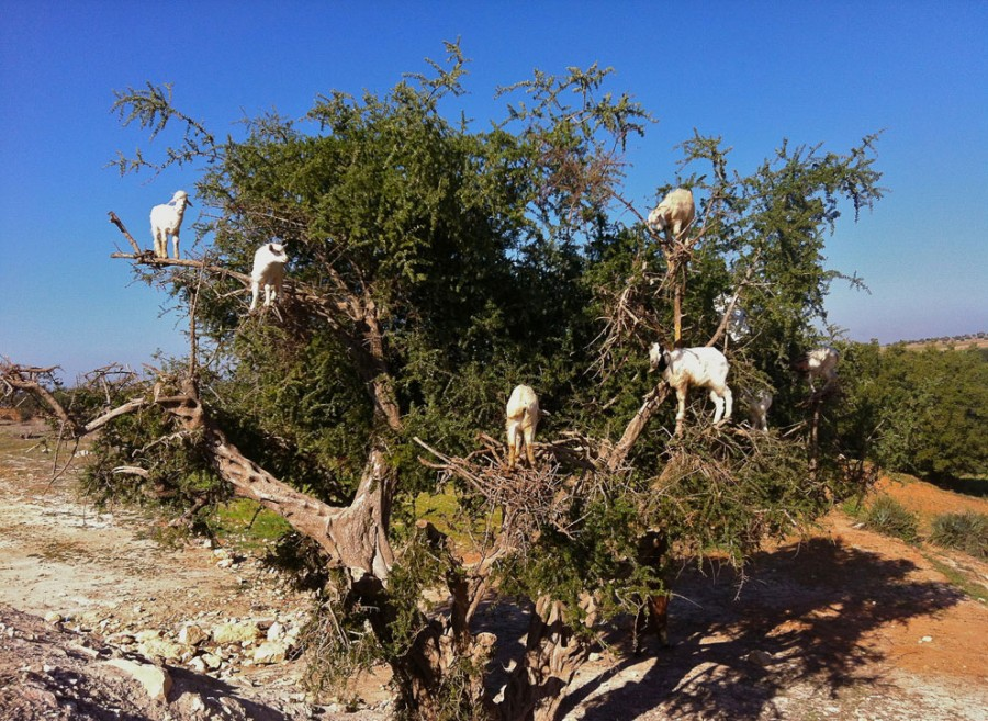 козы из Марокко