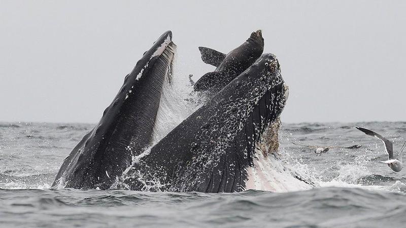 Горбатый кит глотает морского льва