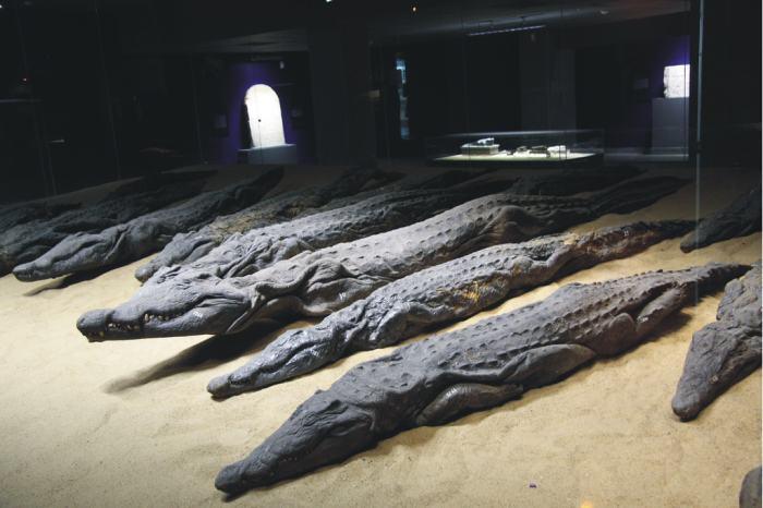 Мумии священных крокодилов. Фото