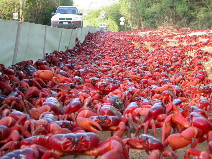 Миграция крабов на острове Рождества в Индийском океане.