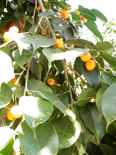 peepal fruit