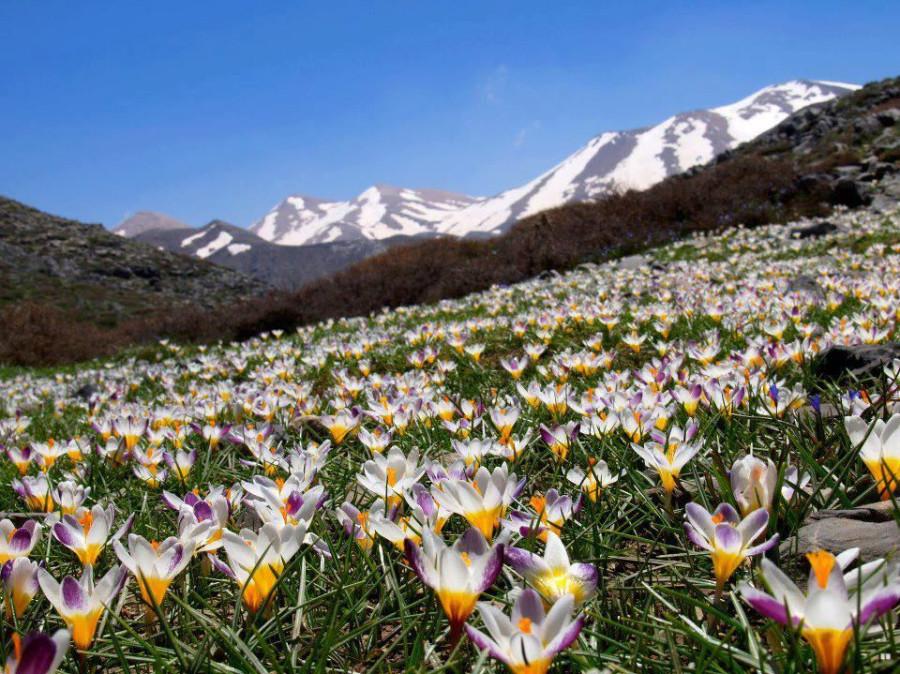 crocus white mountain