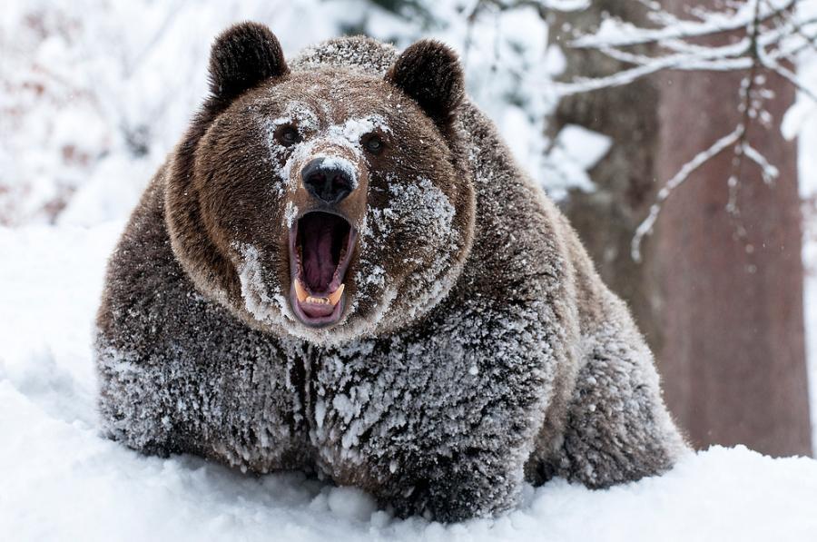 медведь 1