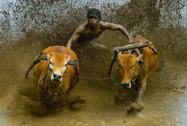 гонки на быках 1