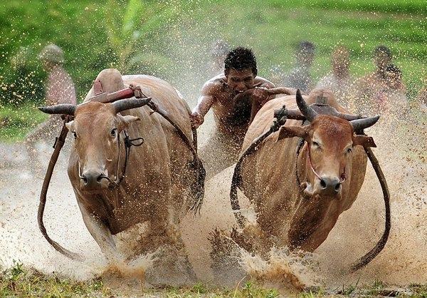 гонки на быках 2