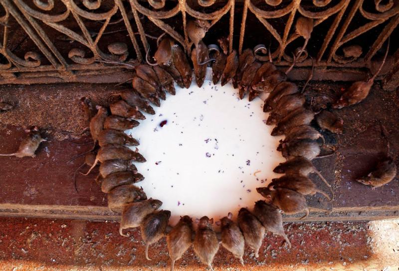 Священные животные пьют оставленное для них молоко в индуистском храме Карни Мата.