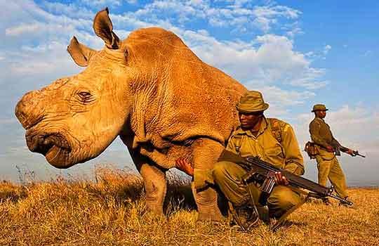 Последние носороги