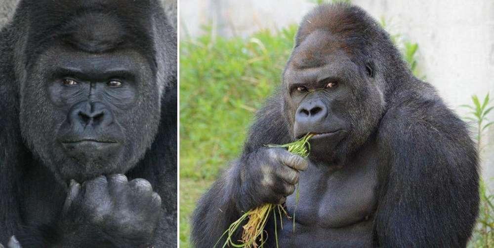девушка сосала гориллу