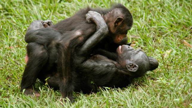 совокупляющиеся обезьяны