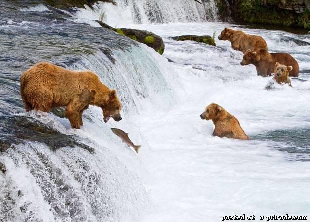 Медведи любят форель