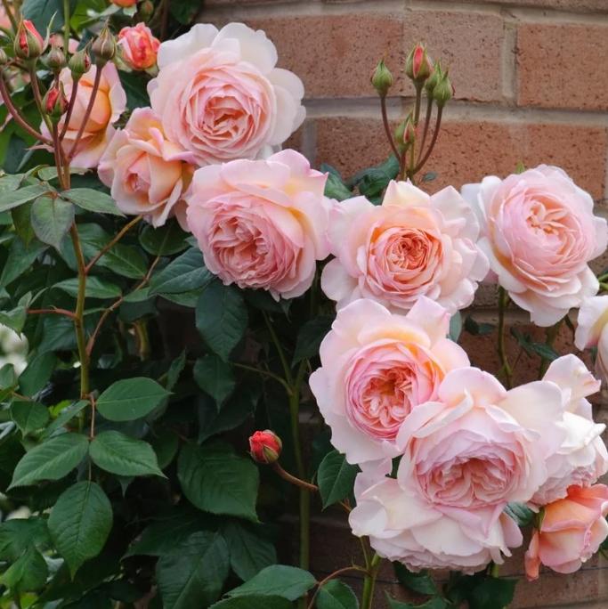 Розы английские