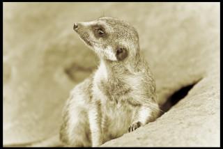 Суриката (Эрфуртский зоопарк, Германия)