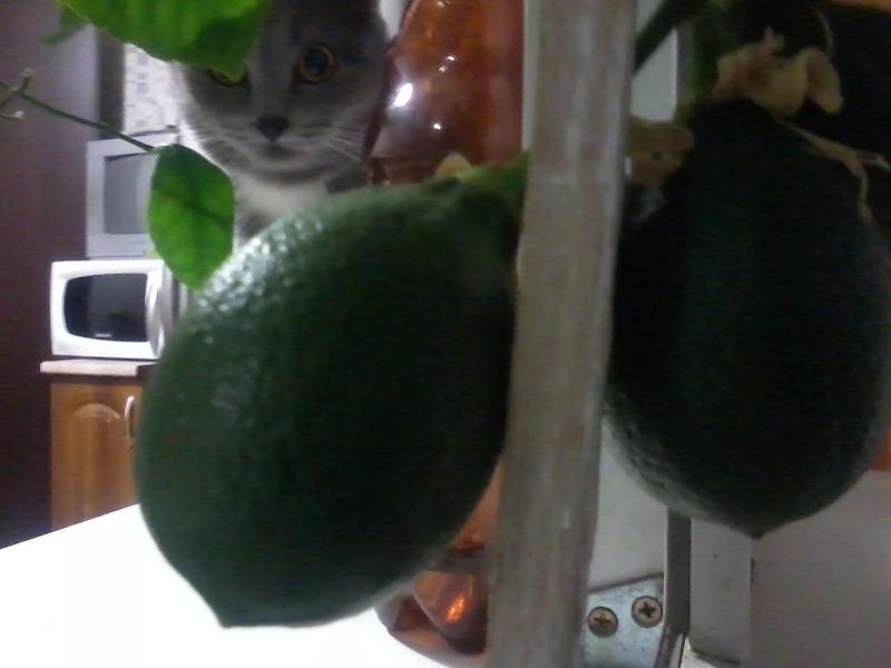 Лимоньчик3