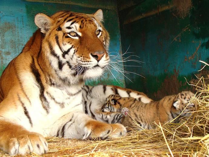 Тигра 1