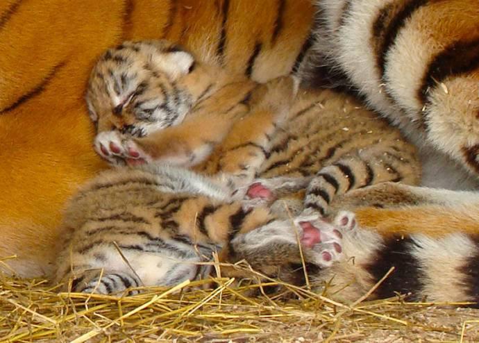 Тигра 2