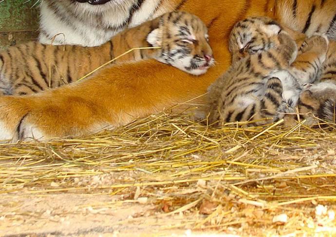Тигра 3