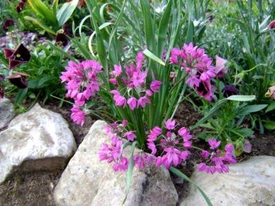 Allium-Ostrovskogo