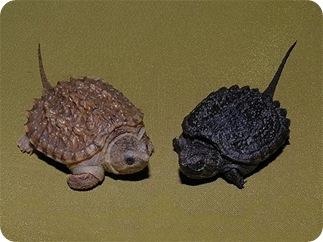 Каймановые черепахи Chelydra serpentina гипомеланист и меланист