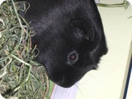 cavia_porcellus-licorice