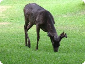 melanistic-buck-buckmanager.com