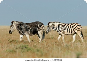 stock-photo-plains-zebras-equus-quagga-one-with-melanistic-coloration-etosha-national-park-namibia-1920317