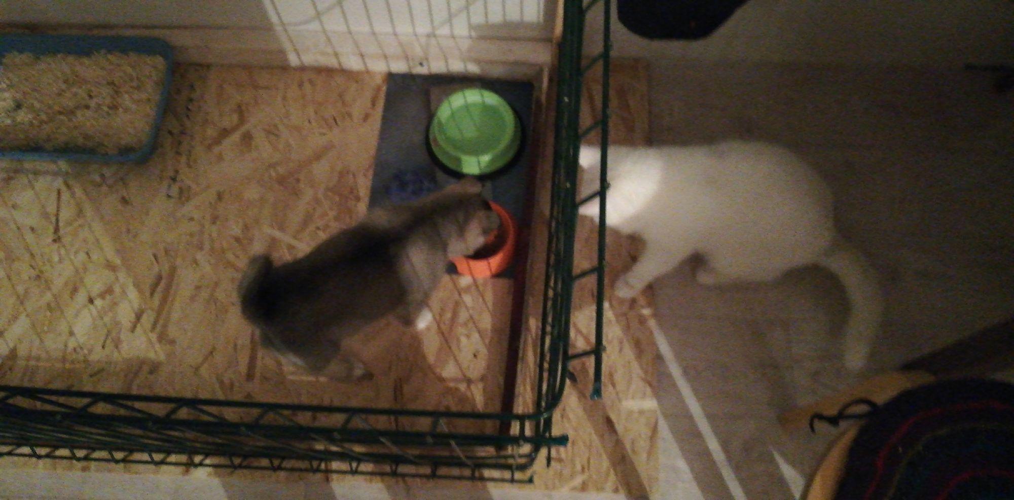 Кот пытается поужинать из собачей миски прямо при ней. Вольер спасает)