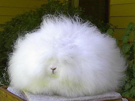 angora rabbit 2
