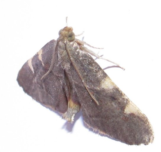 bronzeymoth