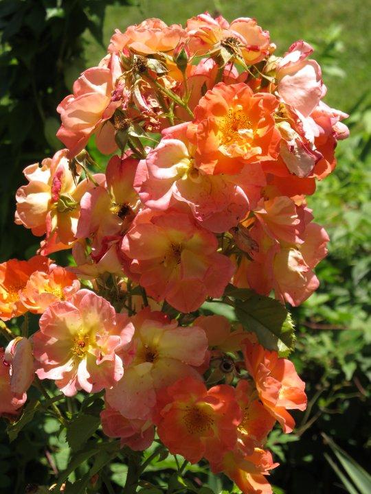roses2