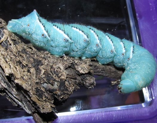 davidthegoliathworm