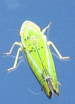 leafhopperontrain