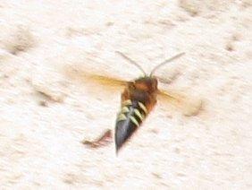 cicadakiller